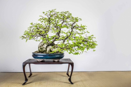Bonsai - Grab koreański (Carpinus koreana)