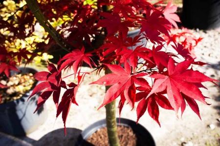 Acer palmatum Fire glow